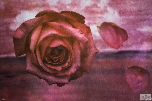 photo fusion lithography Gordon Parks color photography rose flower petals falling